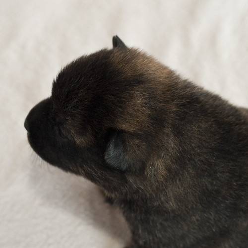 Haru-Third-Litter-Pup5-Male-Day15d