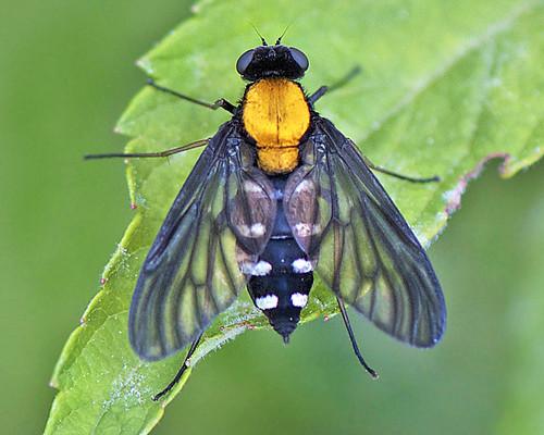 goldenbackedsnipefly chrysopilusthoracicus nikkor105mmf28gvrmicro photographybydavewendelken blackflywithorangeback blackflywithgoldbackandwhitespotsonblackabdomen