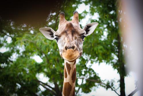 140/365 - Giraffe