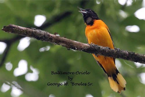 Baltimore Oriole by George W. Bowles, Sr.