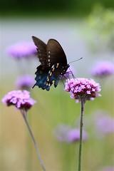 Spicebush Swallowtail, Papilio troilus