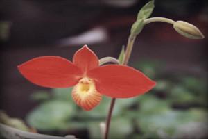 orquideas-flora-fauna-region-ancash