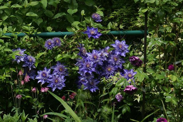 multi blue clematis color flickr photo sharing. Black Bedroom Furniture Sets. Home Design Ideas