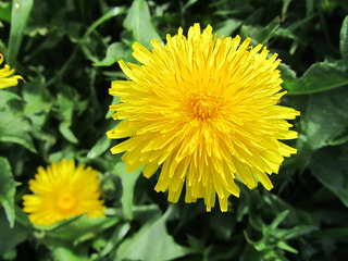 Just a common dandelion