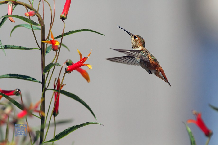 Allen's Hummingbird 052912-6