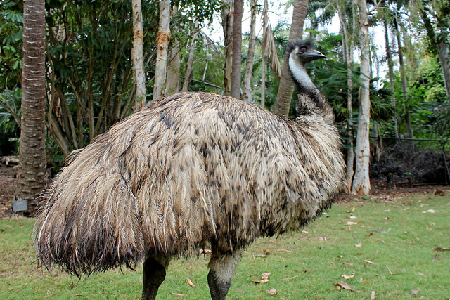 Classy Emu