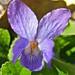Small photo of Viola (viola odorata)