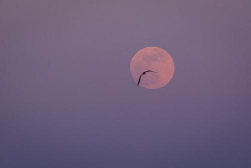 Lunar gull