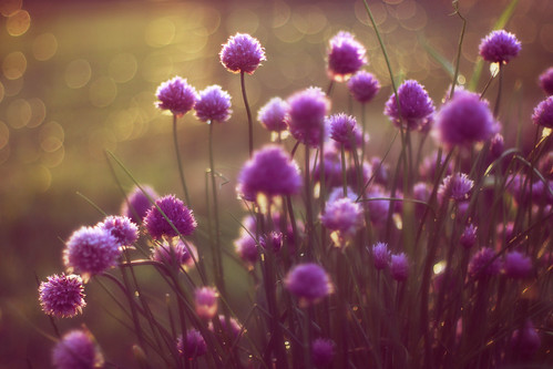 Chives by iamaprice(Amanda)