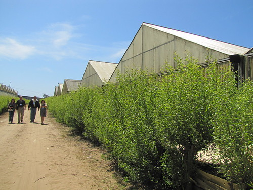 Greenhouses at California Floral Greens