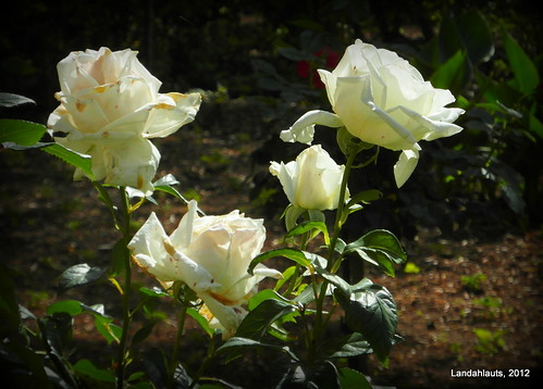 Rosas blancas de la Alhambra