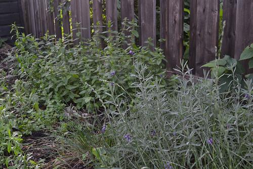 lavender, mint, phlox