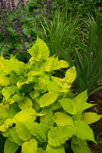 persicaria iris panicum  1777