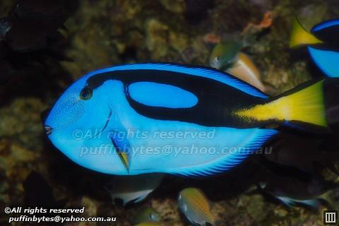 pacific blue tang  7404168182_2c5b5905ed.jpg