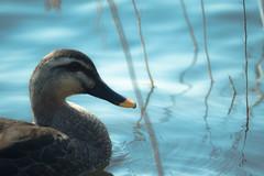 Duck in blue ripple