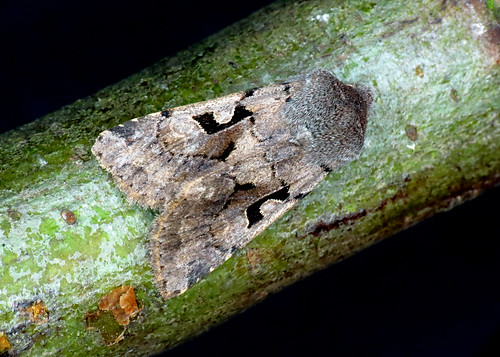 2190 Hebrew Character - Orthosia gothica