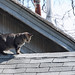 Cat On A Hot Shingle Roof by DewCon