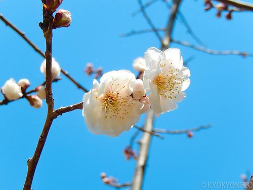 臥竜梅(片平公園2014/4/2)