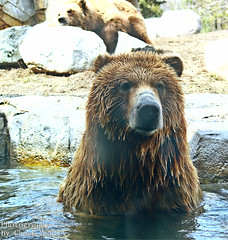 2014-04-02 Mn Zoo Playful Grizzlies-W 214