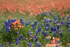 Texas Bluebonnets and Paintbrushes