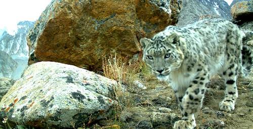 Tajikistan-17-013-Tajikistan Snow-Leopard-Credit Panthera & FFI