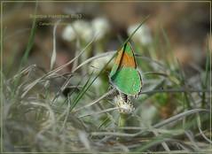 Bramble Hairstreak Colorado butterfly photography by Ron Birrell,  DSC_0163