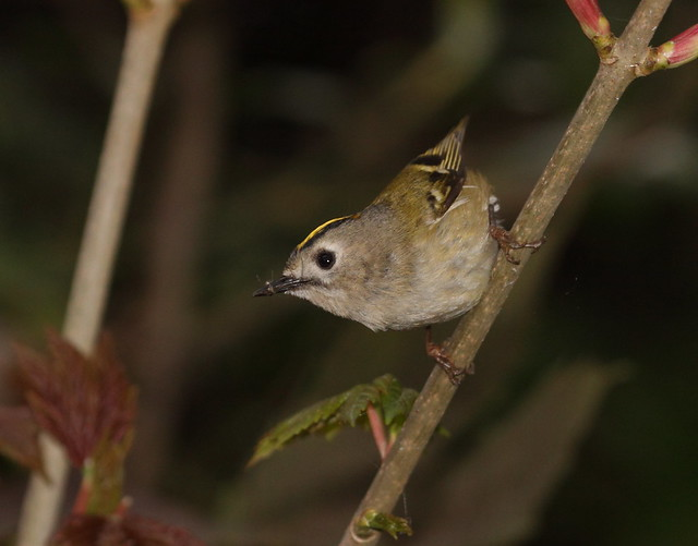ajsteele-Goldcrest-stockerslake-090414