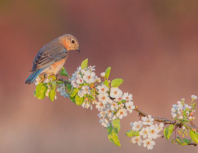 Eastern Bluebird F