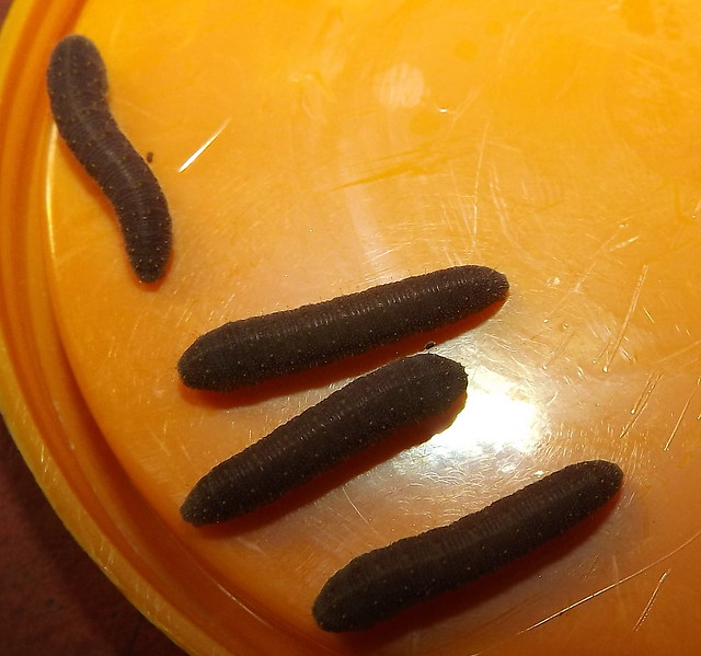 Mature cats about to pupate