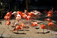 IMG_3634: Flamingos