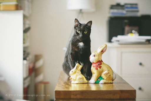 Easter Bunnies and 2 Black Cats, twoguineapigs pet photography 1