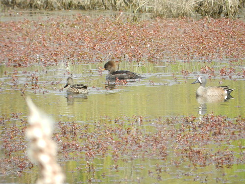 Blue-winged Teal with female Hooded Merganser