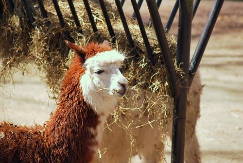 zoo - llamas