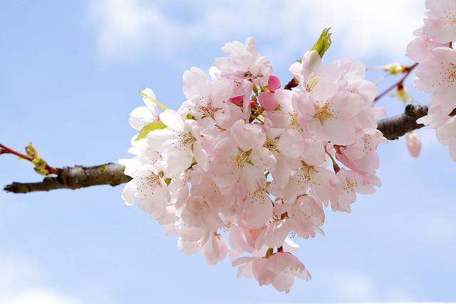 Cherry blossom under sunny blue sky