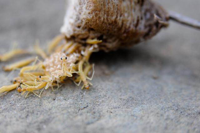 """praying mantis egg """"hatching"""""""