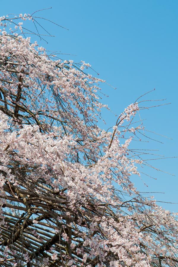 雲ひとつ無い空と桜