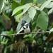 Small photo of Amazon Kingfisher. Chloroceryle inda. Female.