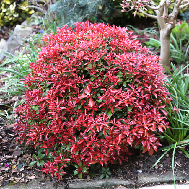 New leaves of Pieris japonica 'Mountain Fire' in spring ...