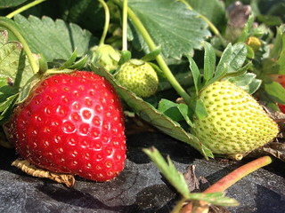 Beautiful strawberries, old and and young