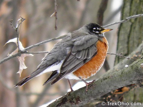 A Winter Robin