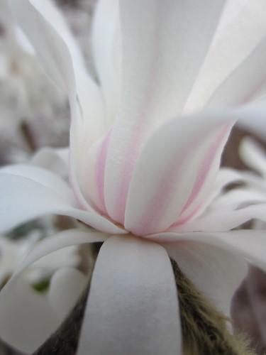 Magnolia Closeup