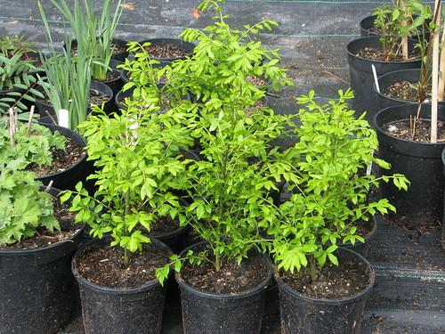 Euonymus alatus ciliodentatus