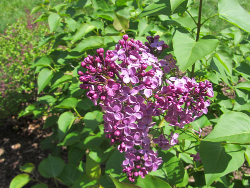 the lone lilac