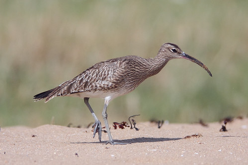 Walk like a Whimbrel