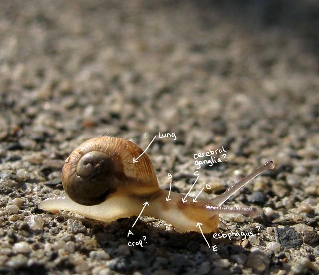 inside a snail