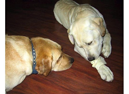Yellow Labrador Retrievers - Stella and Doc