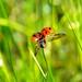 Ladybug by Nikola Segan