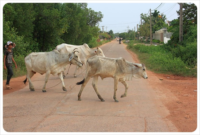 kampot cows in the street