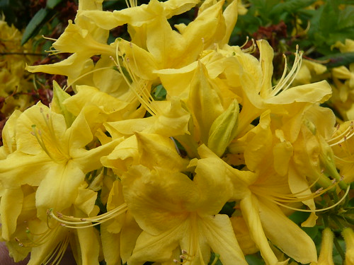 June garden Azalea
