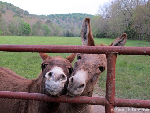 Happy World Donkey Day 6 - FarmgirlFare.com